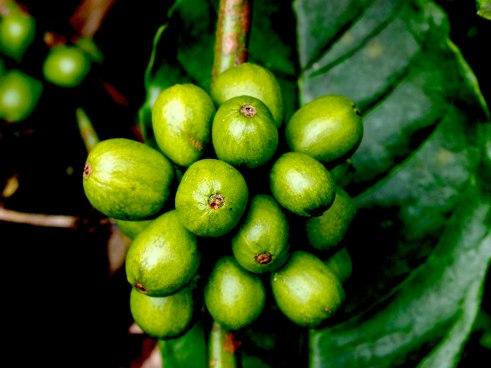Coffee beans in Sumatra